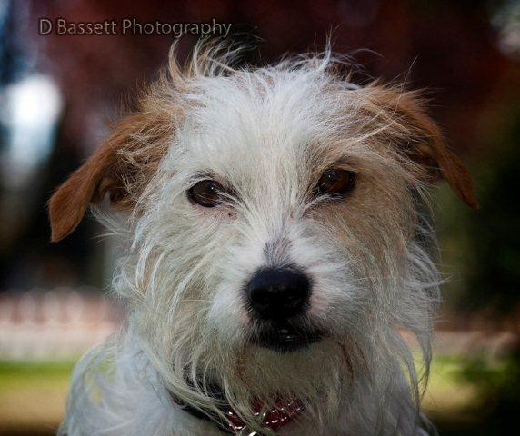 Chihuahua Wire Haired Jack Russell Mix Male, wire haired jack russell