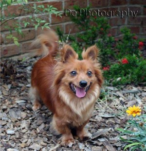 BENNY 10 years old Dachshund/Pomeranian mix